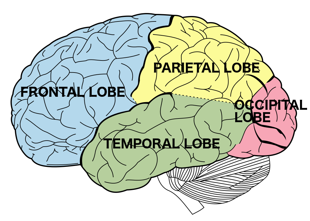Lobes_of_the_brain_NL.png